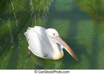 Portrait of great white pelican swiming