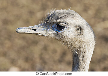 Portrait of greater rhea (Rhea americana), also known as the...