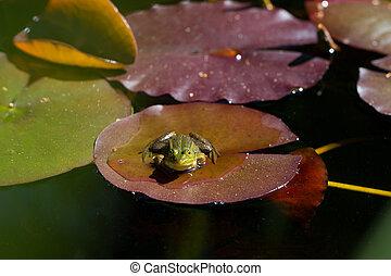 portrait of green frog (Rana esculenta) sitting on a leaf