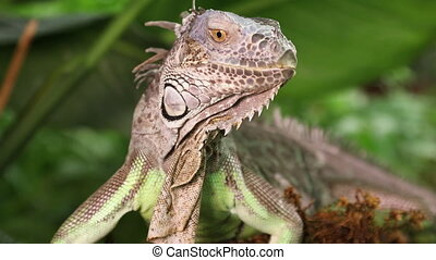 Portrait of Green Iguana - Portrait of large Green Iguana...