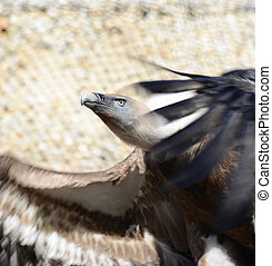 Portrait of Griffon Vulture