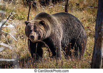 Portrait of grizzly bear in woods of Yellowstone.