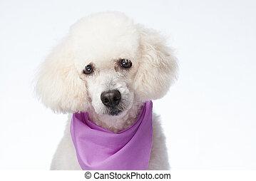 Portrait of groomed poodle