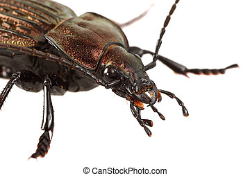 Portrait of ground beetle (Carabus ullrichii) on a white background