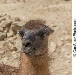 Portrait of guanaco, lama guanicoe in Safari Aitana, ...