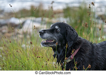 Portrait of Happy Smiling Black Dog while Fetching Stick in the water
