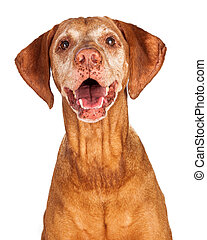 Portrait of Happy Vizsla Dog