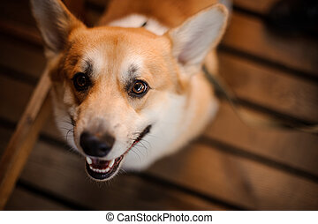 Portrait of happy welsh corgi looking in camera