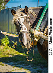 Portrait of Harnessed Horse