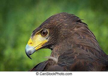 Harris Hawk - Portrait of Harris Hawk