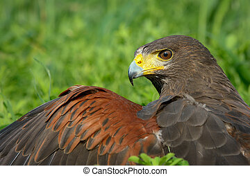 Harris Hawk - Portrait of Harris Hawk