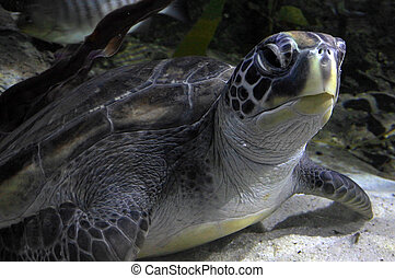 Hawksbill Marin sea Turtle
