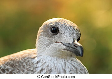 portrait of herring gull at sunset