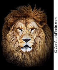 Portrait of huge beautiful male African lion against black background