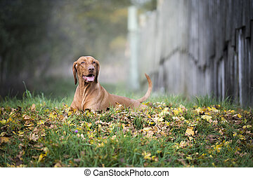Portrait of hungarian hound dog in autumn