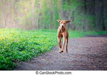 Portrait of hungarian hound dog in spring time