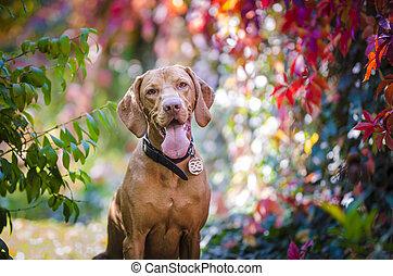 Portrait of hungarian hound pointer dog in autumn