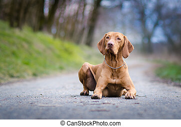 portrait of hungarian hound pointer vizsla dog in autumn time