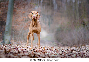 Portrait of hungarian vizsla hunter dog in autumn