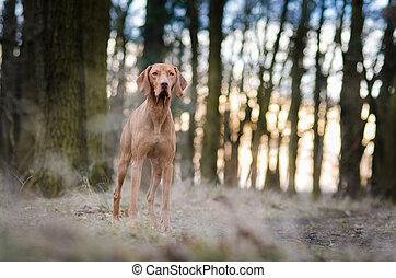Portrait of hungarian vizsla hunter dog in autumn