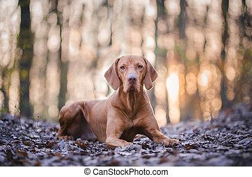 Portrait of hungarian vizsla hunter dog in spring