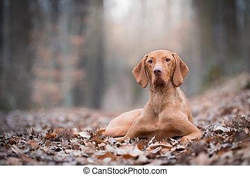 Portrait of hungarian vizsla pointer dog in autumn