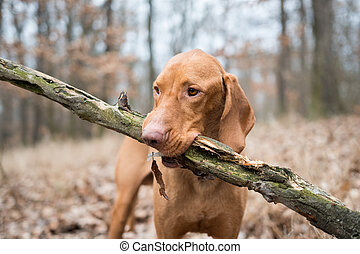 Portrait of hungarian vizsla pointer dog with big branch