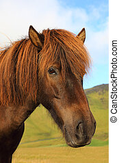 Portrait of Icelandic horse in the field