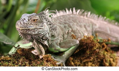 Portrait of Iguana in the woods