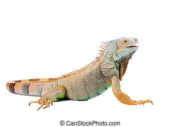 portrait of iguana on isolated white