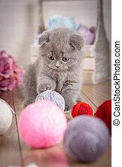 Portrait of Interesting Scottish kitten with ball