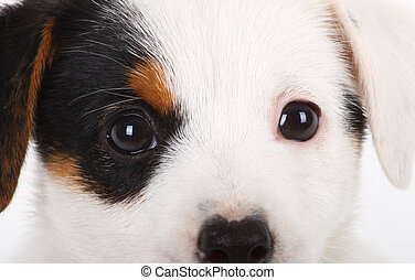 Portrait of Jack Russell puppy on a white background
