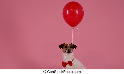 Portrait of Jack Russell sitting in the studio on a pink background. A pet in a red bow tie clamped a balloon in his mouth, which flew up when the dog opened his mouth. Valentines day concept. Slow motion. Close up.
