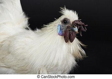 Portrait of japan rooster