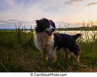 Portrait of joyful dog standing outdoors, on a green field, over sunset background during a countryside evening walk