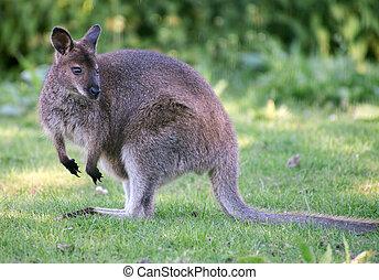 Portrait of kangaroo in national park.