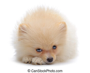Portrait of laying puppy of pomeranian spitz