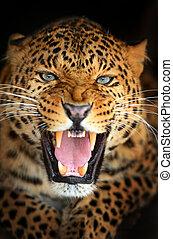 Leopard - Portrait of Leopard