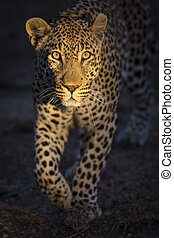 Portrait of leopard walking in the darkness hunting