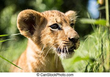 Portrait of lion cub