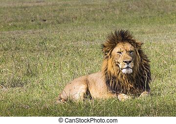 Portrait of Lion in Masai Mara, Kenya
