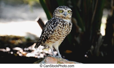 Portrait of Little owl. Athene noctua.