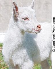 portrait of little white goat