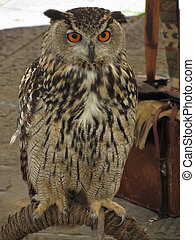 Portrait of long-eared owl ( Asio otus, Strigidae family )