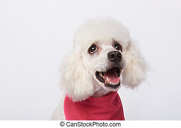 Portrait of looking up white poodle
