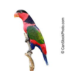 lorikeet birds