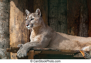 portrait of lying puma, calm predator