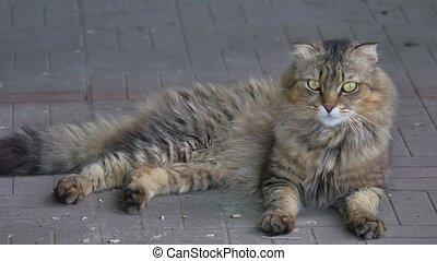 Portrait of lying young siberian cat Backyard shaggy -...