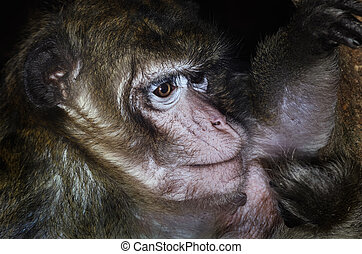 Macaque - Portrait Of Macaque At The Dark Night