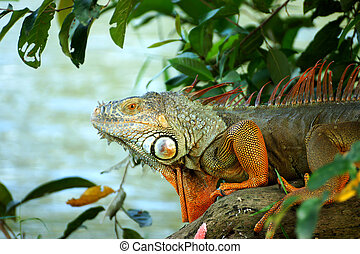 portrait of macro shot on iguana head